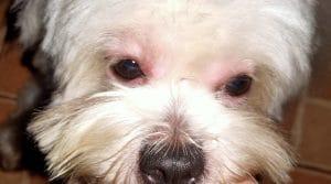 อาการแพ้วัคซีนในสุนัข