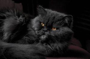 แมวดำพันธุ์เปอร์เซีย