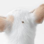 4 วิธีกำจัดเห็บหมัดในลูกสุนัขอายุน้อยกว่า 6 สัปดาห์